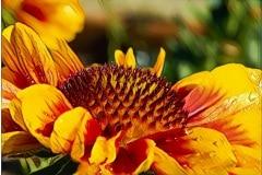 blanket_flower_macro